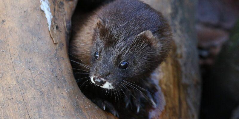 Na Dinamarca, 17 milhões de animais que estariam infectando humanos com Covid-19 serão sacrificados